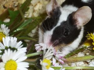 Lecker Gänseblümchen! Frühlingsblumen sind das Highlight für meine Farbmausgruppe.