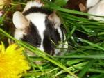 Farbmaus frisst etwas vom Grashaufen