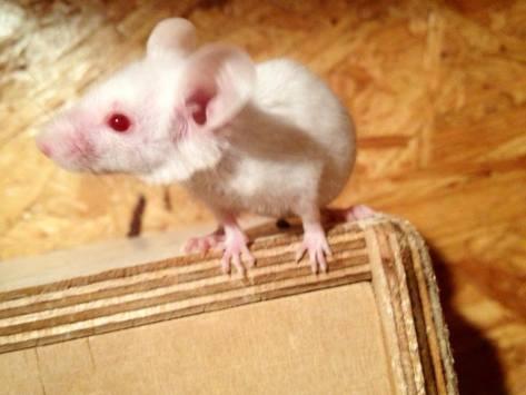 Albino-Farbmaus