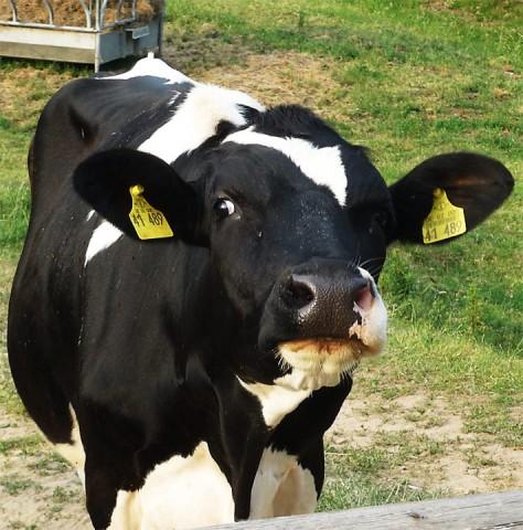Die wenigsten Milchkühe sehen jemals eine Wiese.
