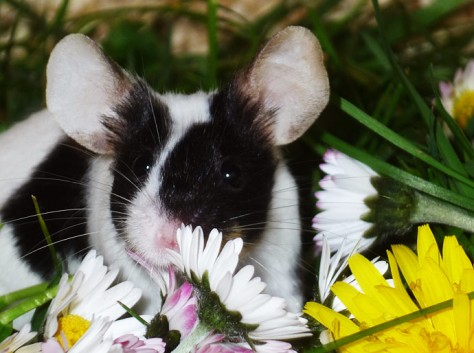 Farbmausweibchen Tinker freut sich über die Blumenpracht