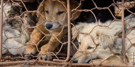 """Tausende Hunde leiden für die """"Kunstpelz""""-Industrie - Foto von Animals' Liberty (www.kunstpelz-ist-echt.de)"""