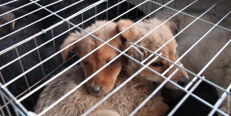 """Sind sie nicht süß? Bald könnt ihr sie knuddeln. nachdem sie brutal getötet und ihnen das babyfell für euren Kapuzenbesatz abgezogen wurde. Leiden für die """"Kunstpelz""""-Industrie - Foto von Animals' Liberty (www.kunstpelz-ist-echt.de)"""