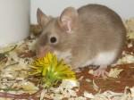 Ein kleiner Farbmausmann frisst eine Löwenzahnblüte