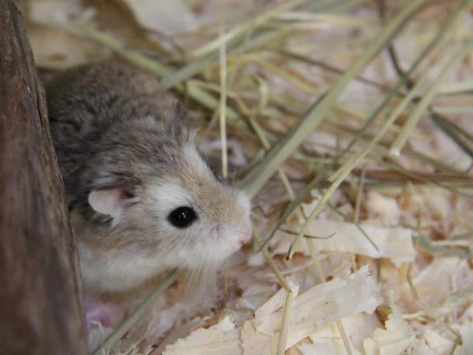 Hamster Herkules beim Hamburger Tierschutzverein