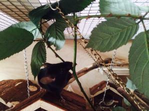 Brombeerblätter im Farbmausgehege.