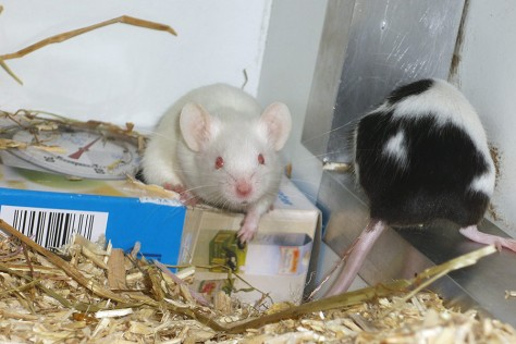 """Albino-Farbmaus, umgangssprachlich """"Albino-Maus"""" genannt."""