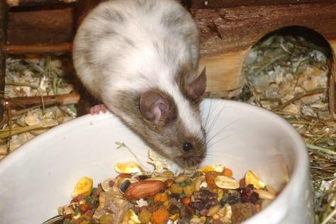 Ungesundes Mäusefutter: eingefärbtes Quetschfutter und zu wenig wichtige Bestandteile.