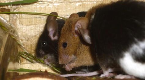 Kranke Farbmaus (m.) und gesunde Maus (h.) im Vergleich: Die kranke Maus sitzt aufgekrümmt, Ohren, Nase und Tasthaare sind abgeflacht.