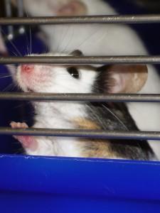 Mäuse aus dem Zoohandel: oft krank, trächtig oder zu jung.