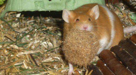 Farbmaus Derek trägt einen Kokosfaserball zum Nest, um ihn dort zu zerlegen.