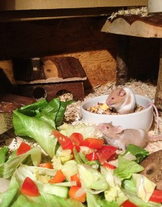 Eisbergsalat, Gurke und Tomate: ein Festmahl für Farbmäuse.