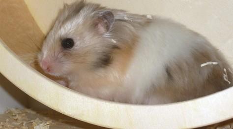 Ein Hamster in seinem Laufrad.