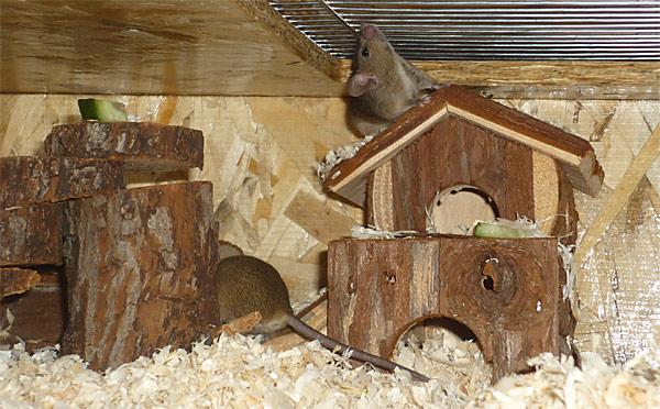 Holzinventar wird von Mäusen sowohl als Rückzugsort als auch als Knabbermaterial genutzt.