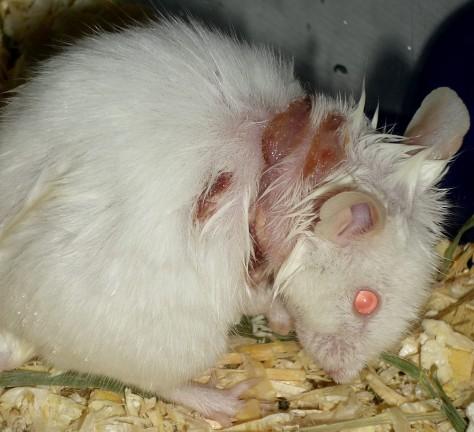 Eine Kratzmaus mit bakterieller und ulzerativer Dermatitis infolge einer Milbentherapie mit einem SpotOn.