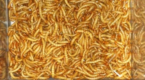 Mehlwürmer sind kleine Eiweißlieferanten.